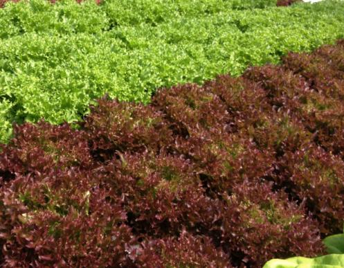 Farmers choice lettuce