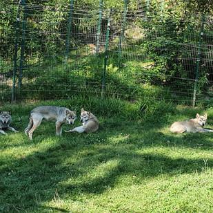 Bärenpark Wölfe