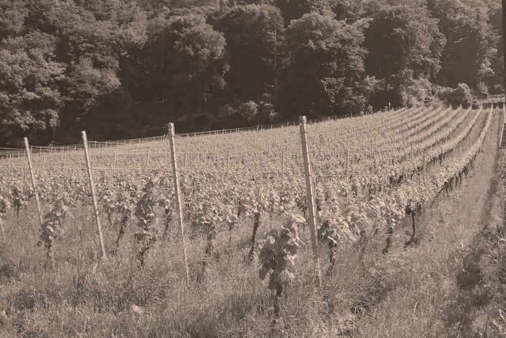 Chardonnay Reben in der Bündner Herrschaft