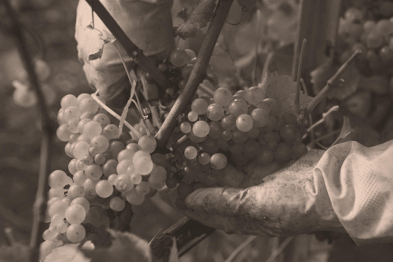 Trauben aus Grand Cru Lagen von Louis Roederer