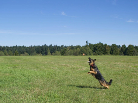 STOP TRYING TO MAKE FETCH HAPPEN: How Playing Fetch Can Make Behavioral Problems Worse