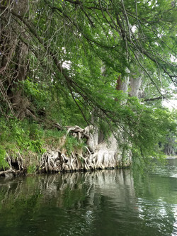 cypress trees on guadalupe river