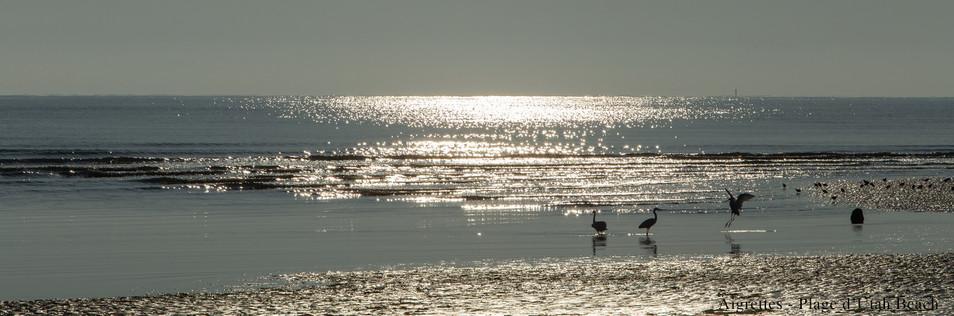 Aigrettes plage d'Utah Beach.jpg