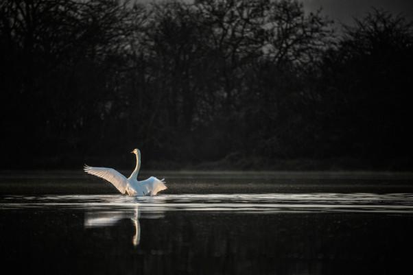 Cygne bat des ailes (Copier).jpg
