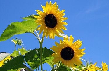 two_sunflowers_195252.jpeg