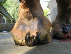 hirudoterapia koń