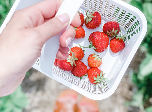 SOCIALLY DISTANT SUMMER ACTIVITIES: STRAWBERRY PICKING AT JONES FAMILY FARMS IN SHELTON, CT