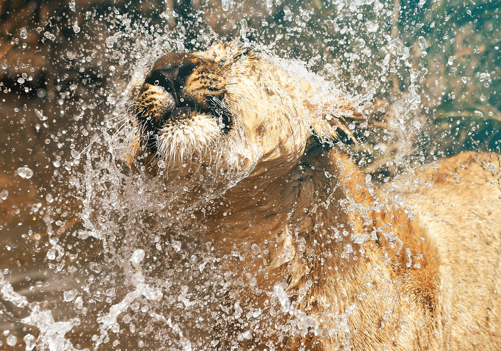 Lioness in the water, Zimbabwe, Africa.j