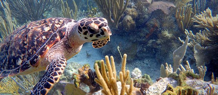 Hawesbill Turtle