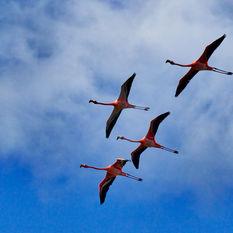 Flocks of Flamingos