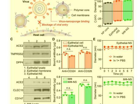 Cellular Nanosponges Inhibit SARS-CoV‑2 Infectivity