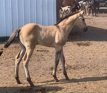 kaylee grullo filly for sale.jpg