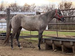grullo stallion.jpg