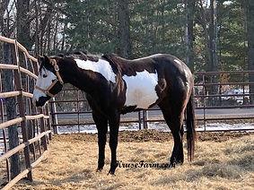 tuffy black overo stallion.jpg