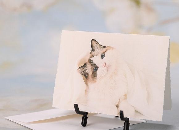 Ragdoll Kitten Tilting his head