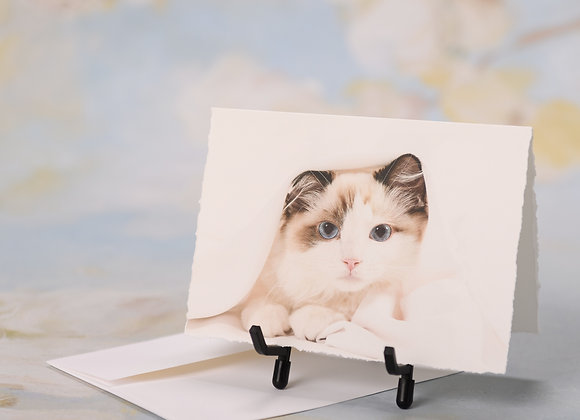 Ragdoll Kitten on White