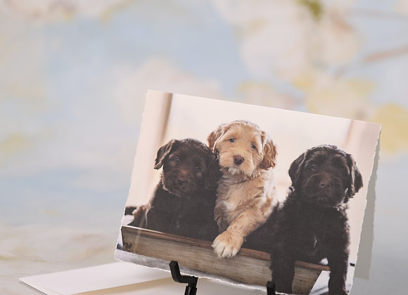 Trio of Labradoodle Puppies - Brothers