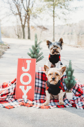 Christmas yorkie pup shoot   Pearl Orchi