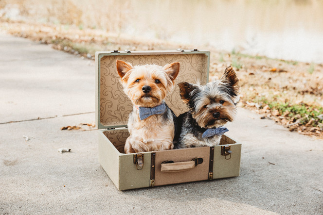 2 yorkie pups in suitcase prop for chris