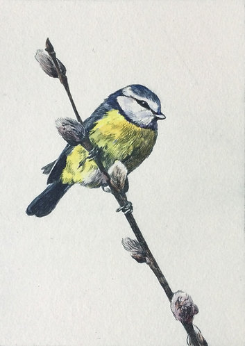 Greg Moore - Blue Tit, unframed Drypoint Etching