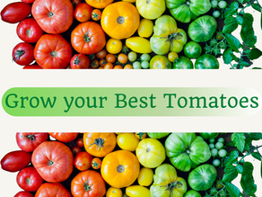 Lunch & Learn: Grow your Best Tomatoes (Webinar) - April 2