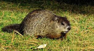 Ground Hog Medicine to Assist in Your Fall Equinox