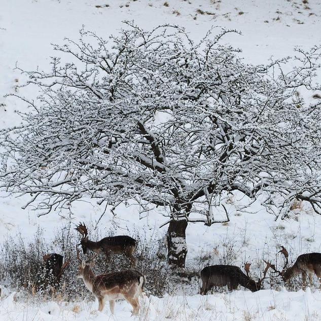 fallow-deer-1603292_1280.jpg