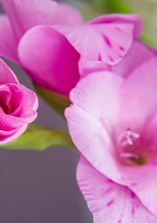 Gladiole in Pink
