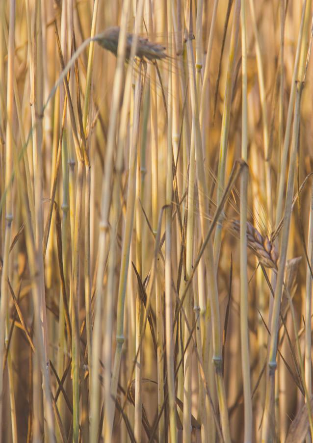 Die Halme eines Weizenfeldes