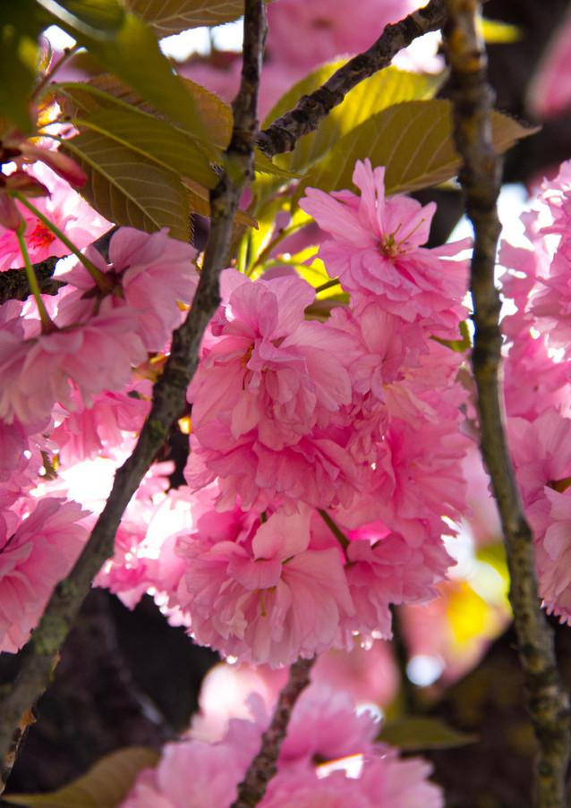 Lichtdurchflutete Kirschblüten