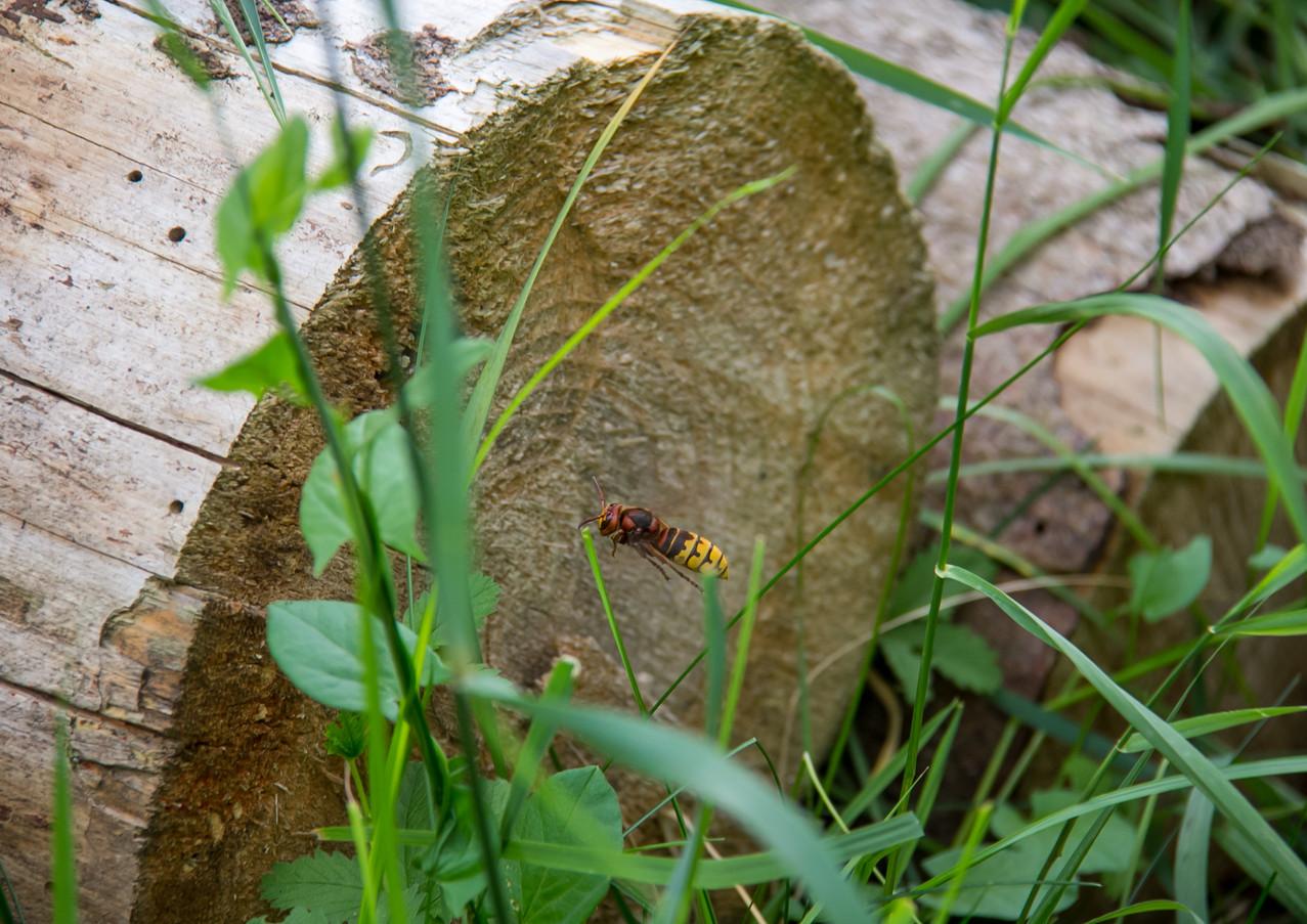 Eine Hornissenkönigin macht einen Ausflug