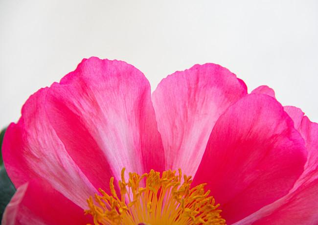 Heckenrosenblüte in kraftvollem Pink