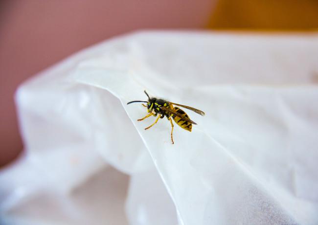 Die elegante Wespe