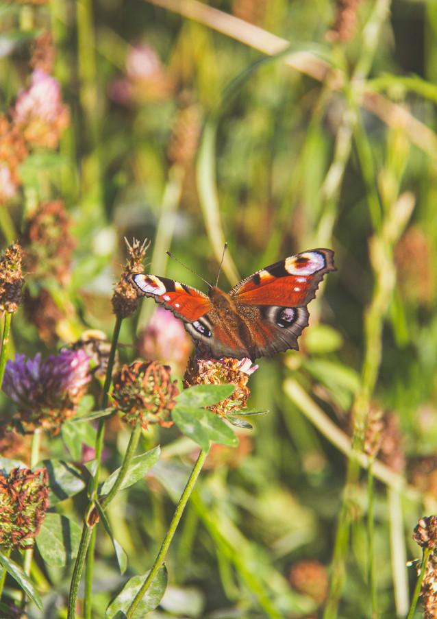 Ein Pfauenauge Schmetterling labt sich am Nektar des Klees