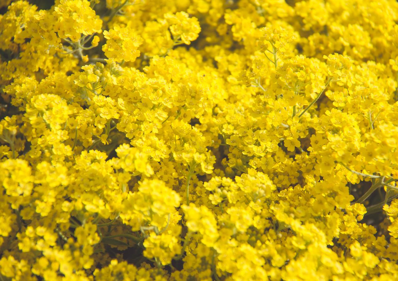Unzählige gelbe kleine Blüten