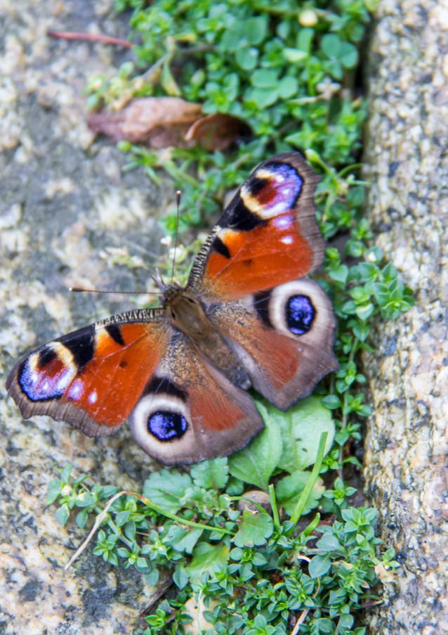 Pfauenaugen sind wunderschöne Schmetterlinge