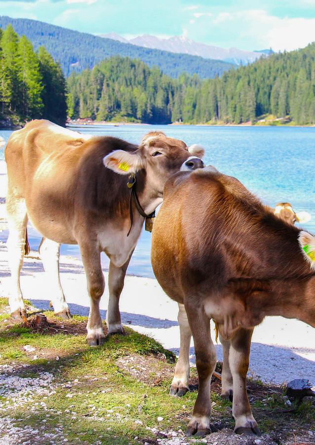 Kühe am Pragser Wildsee in Südtirol