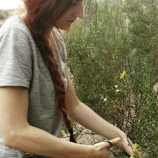 Harvesting the abundant creosote on my p