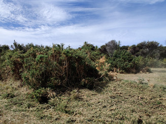 Gorse removal