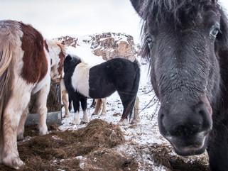 Flowing Mane, Thick Coat, Icelandic Horse