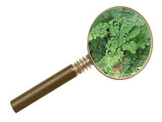 Magnifying Glass on Fern.jpg
