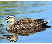 Pacific black duck small.jpg