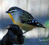 Spotted Pardalote_small.jpg