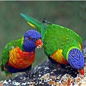 Rainbow Lorikeet_small.jpg
