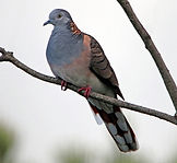 Bar-shouldered Dove_small.jpg