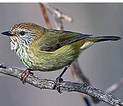 Striated thornbill small.jpg