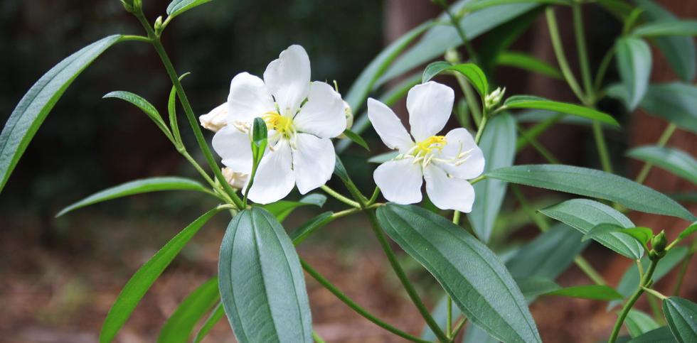 Melastoma malabrathicum alba