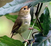 Large-billed Scrubwren_small.jpg