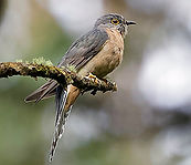 Fantailed Cuckoo small.jpg