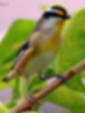 Striated Pardalote_small.jpg